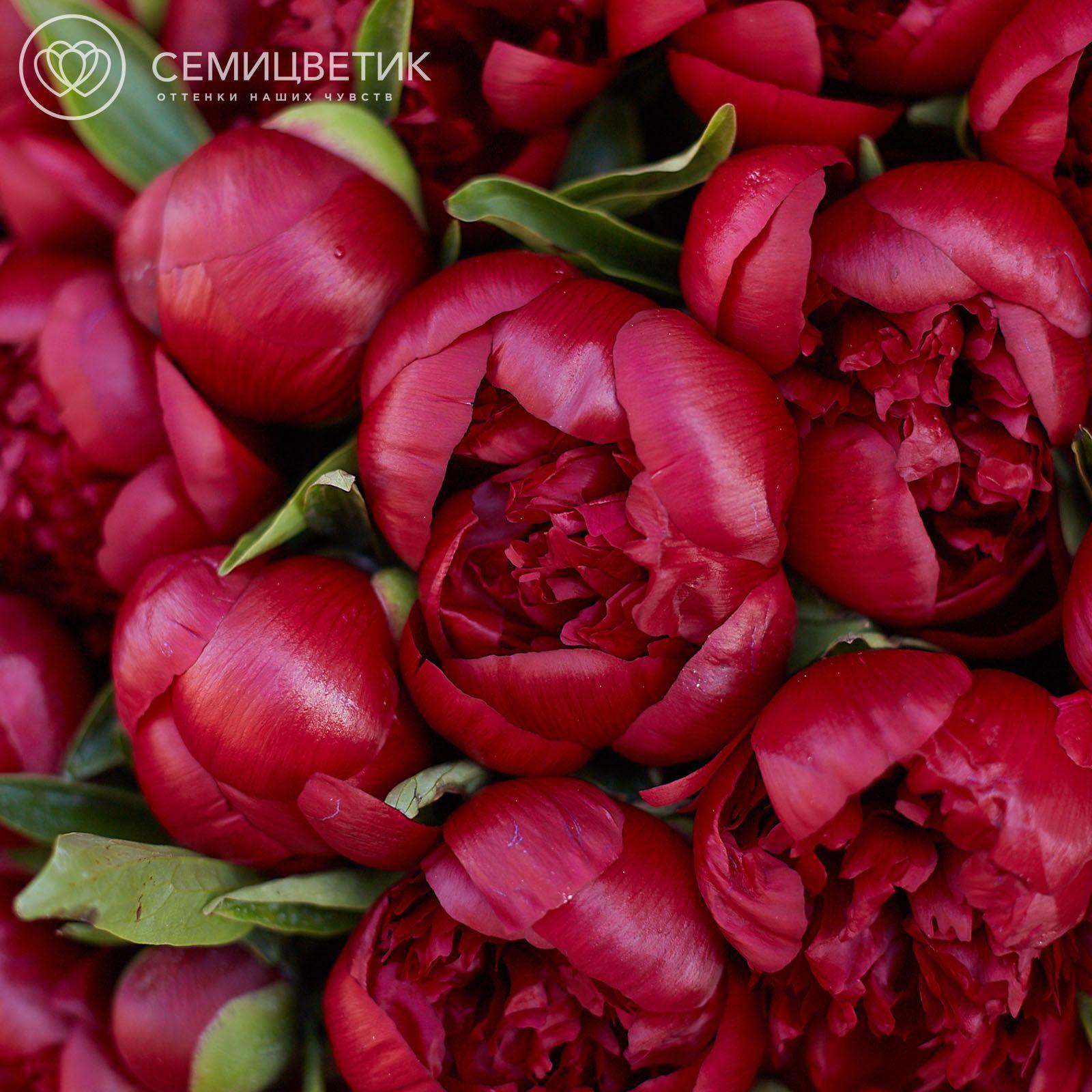 Россыпь Пион Premium Бордовый фото