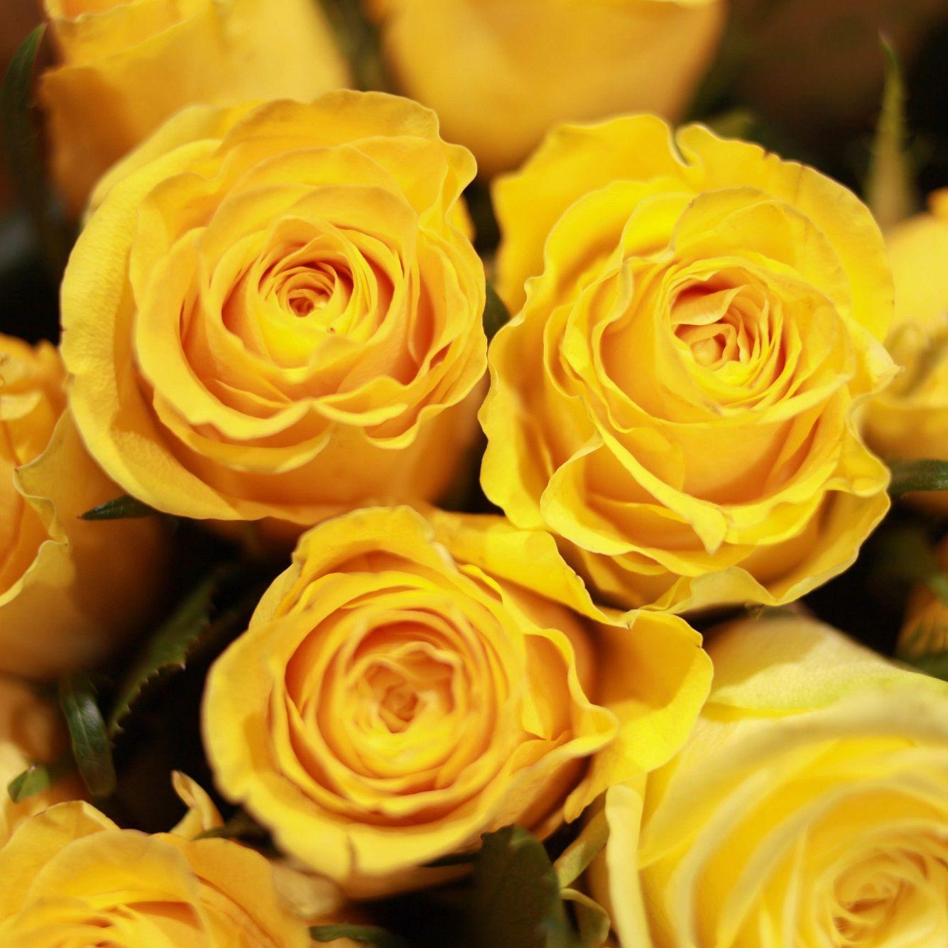 Желтые розы Tara 70 см опт фото