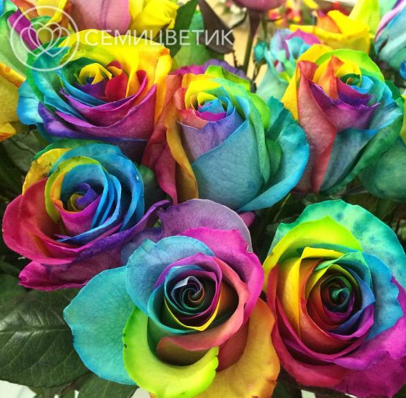 7 радужных роз фото
