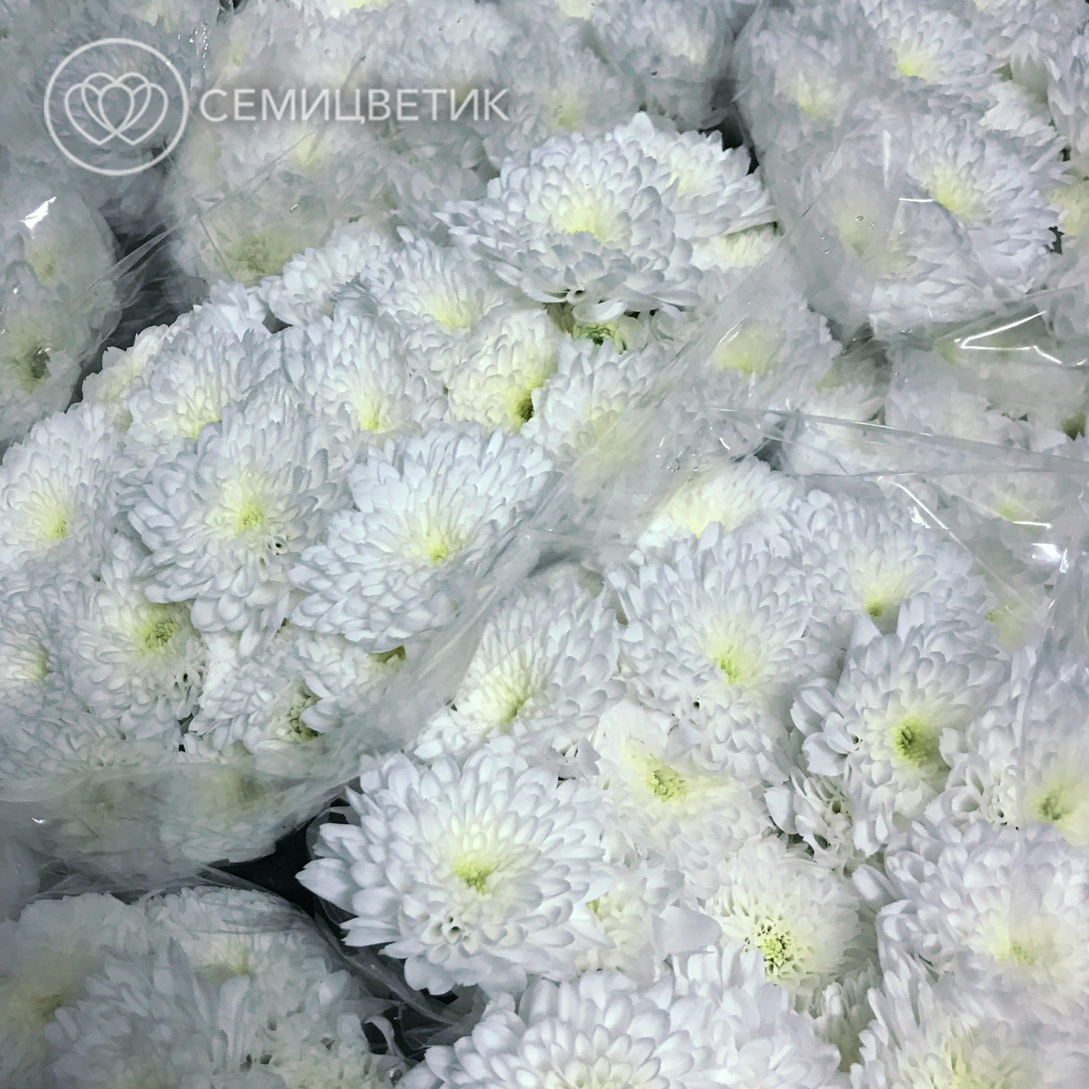 Хризантемы кустовые фото