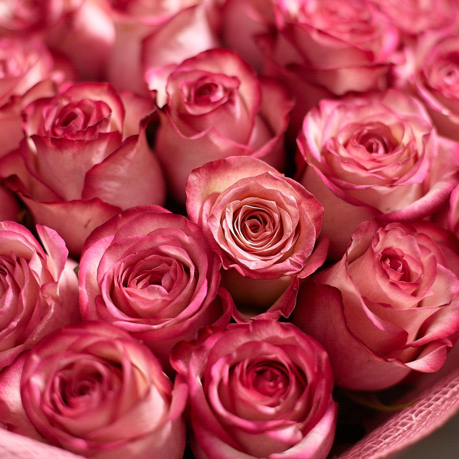 Кремовые розы с розовой каймой Carrousel 70 см фото