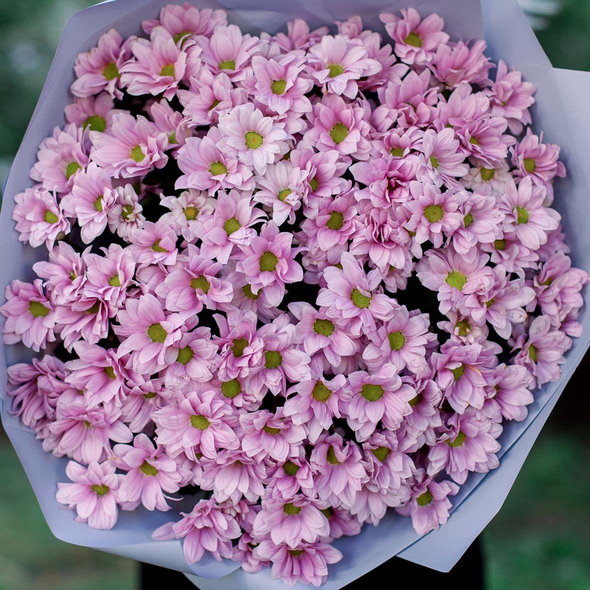 15 розовых кустовых хризантем фото