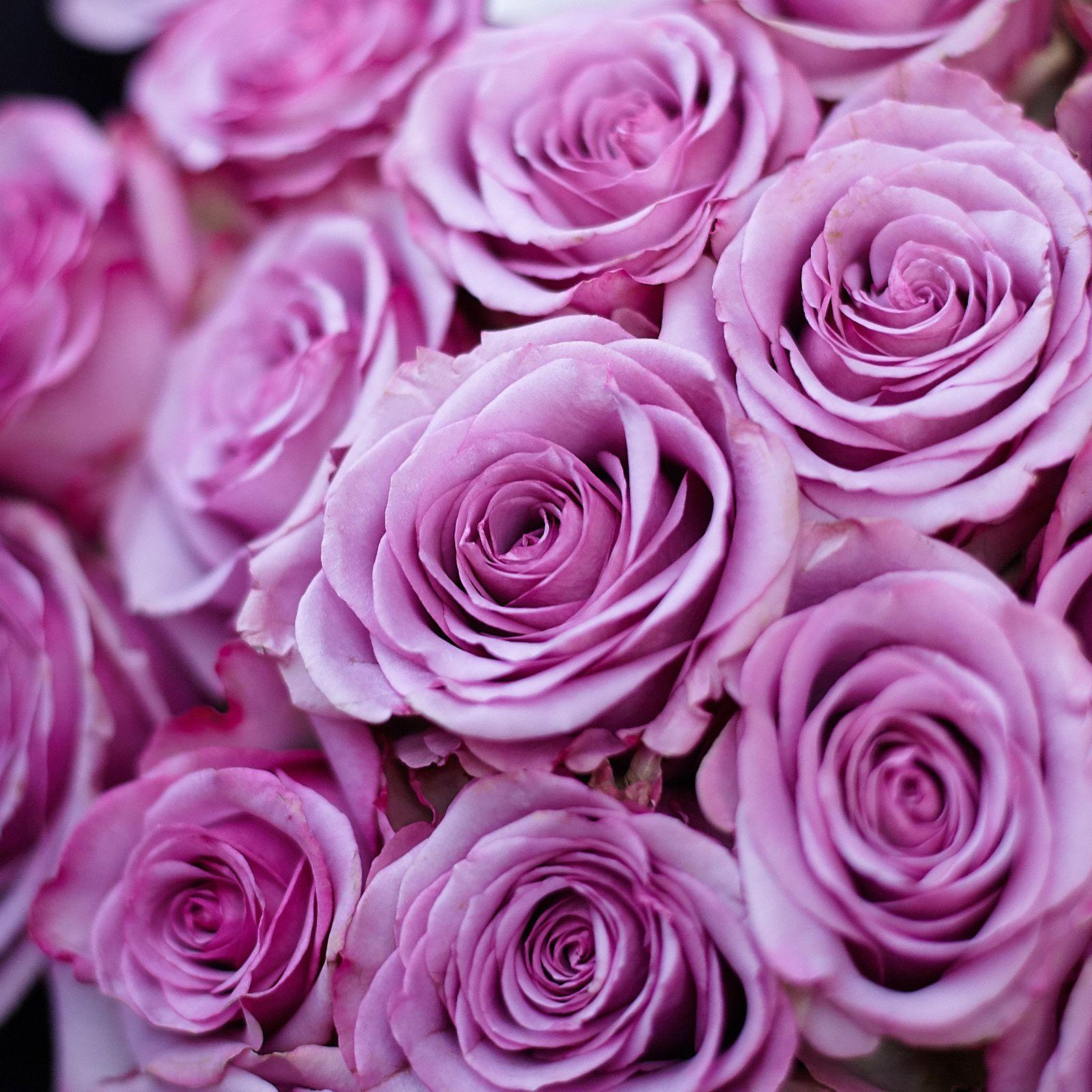Сиреневые розы Cool Water 60 см опт фото