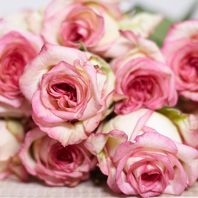 Розовые Биколор розы 40 см Premium фото