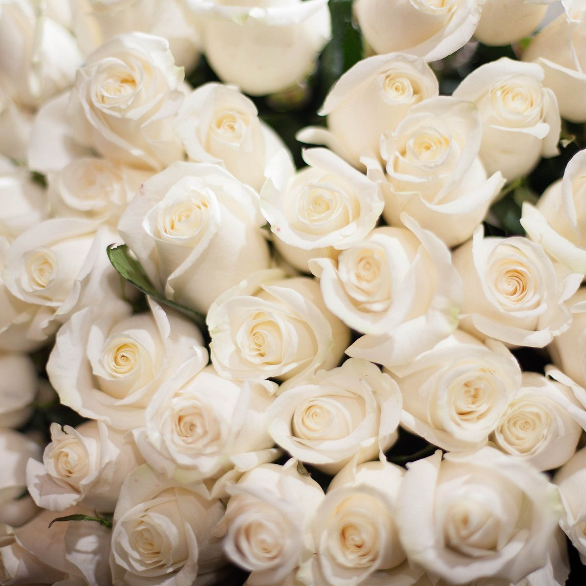 55 белых роз Vendela 50 см фото